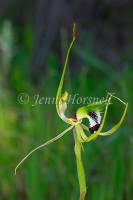 King Spider Orchid 2