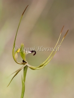 King Spider Orchid 4199