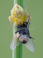 Crab_Spider_with_Fly