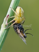 Crab_Spider_with_Fly_2