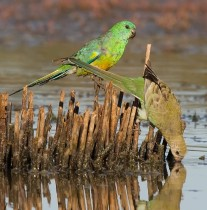 Red-rumped Parrot male  female 3645