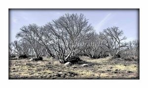 Burnt-Snowgums-1