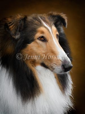 Collie-Dog-1
