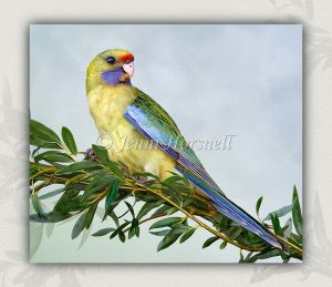 Eastern-Yellow-Rosella-1