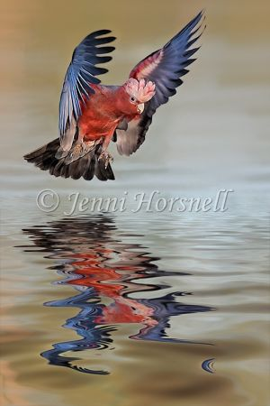 Galah-Reflected-2