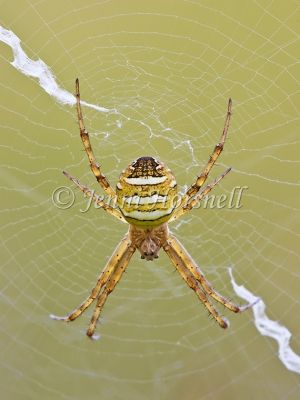 Andrews_Cross_Spider