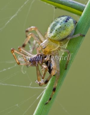 Crab_Spider_with_Spider