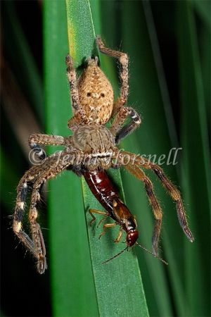 Huntsman_eating_Earwig