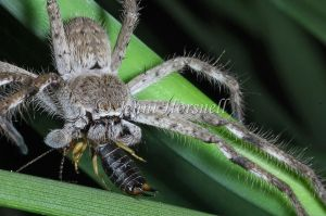 Huntsman_with_Earwig