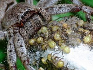 Huntsman_with_spiderlings