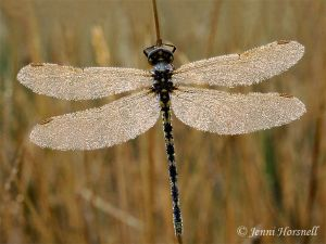 Dragonfly and dew