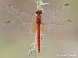 Scarlet Percher - Diplacodes haematodes - male 5533