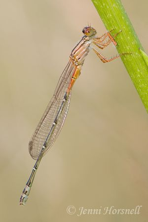 Red__Blue_Damsel_-_Xanthagrion_erythroneurum_immature_male