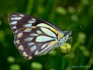 Caper_White_Butterfly