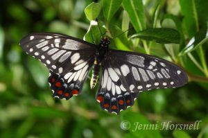 Dingy_Swallowtail
