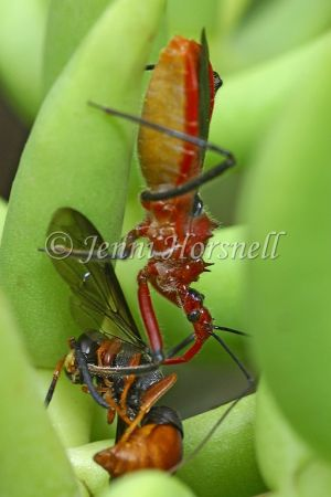 Orange Assassin Bug with Wasp - Gminatus australis 2408