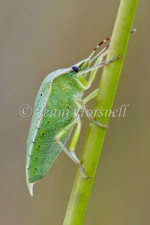 Green Vegetable Bug - Nezara viridula  4228