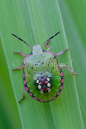 Green Vegetable Bug Nymph - Nezara viridula
