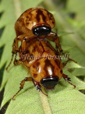 Mating Beetles 2146