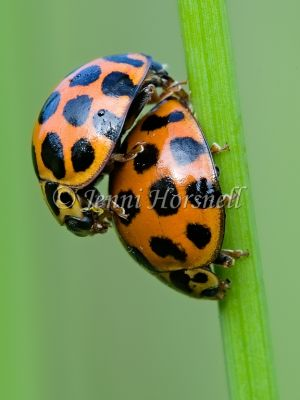 Common Spotted Ladybirds Mating - Harmonia conformis 0438