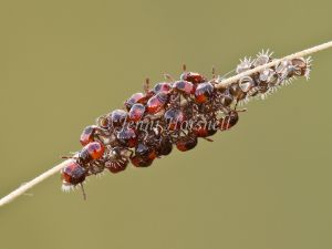 Newly Hatched Shield Bugs 5409