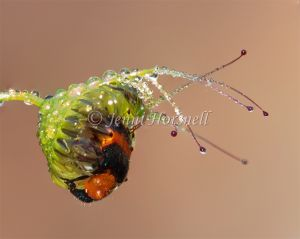 Pollen Beetle trapped in Sundew 825