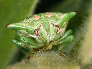 Red Green Spined Stink Bug Nymph -  Morna florens 7554