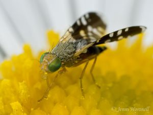 Ant-mimicking_Fly_9199