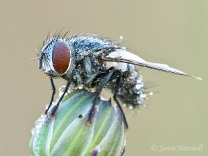 Common_Bush_Fly_9453