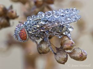 Dew_Covered_Flesh_Fly_6241