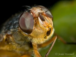Fly_Head_Detail.