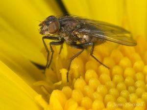 Fly_on_Daisy_7034_2.jpg