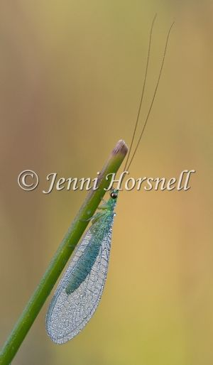 Golden-Eyed Lacewing 5225