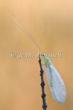 Golden-Eyed Lacewing 6168