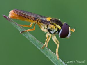 Hoverfly_0623