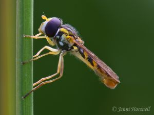 Hoverfly_9869