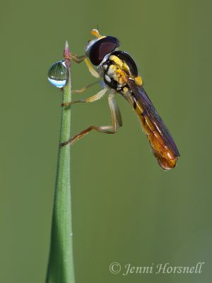 Hoverfly__Dewdrop__9902