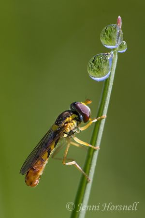 Hoverfly__Dewdrops_9566