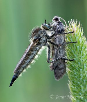 Robberfly_with_Moth_