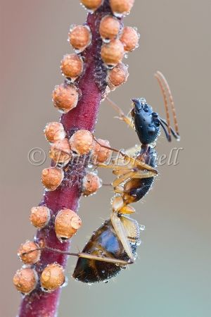 Ant  Milking Scale Insects
