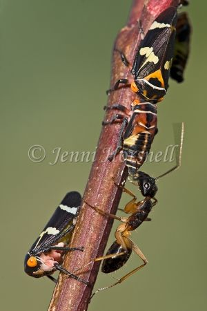 Ant milking Leafhoppers 2745
