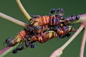 Ants milking Leafhoppers Nymphs 5769