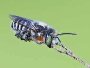 Blue Banded Bee 3111