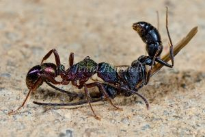 Green Headed Ant eating Wasp
