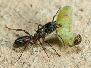 Green Headed Ant with Grub -