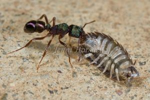Green Headed Ant with Slater - Rhytidoponera metallica