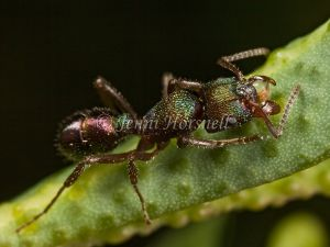 Green Headed Ant - Rhytidoponera metallica