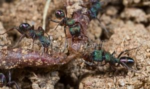 Green Headed Ants with Earthworm - Rhytidoponera metallica
