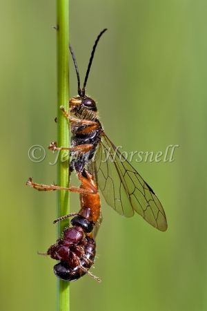 Mating Wasps