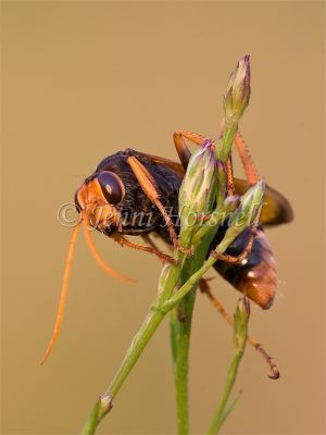Orange Spider Wasp - Cryptocheilus sp. 6040